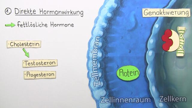 Zelluläre Hormonwirkung