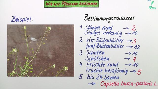 Bestimmen von Pflanzen – Biologie online lernen