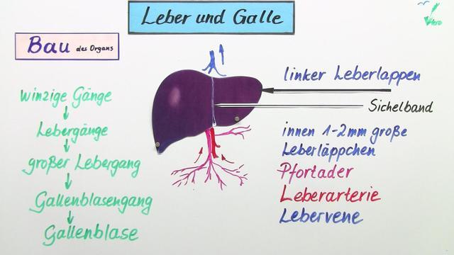 Leber und Galle – Biologie online lernen
