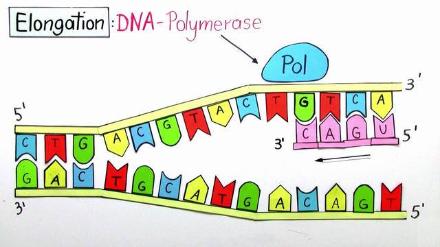 Ungewöhnlich DNA Replikation Ãœberprüfung Arbeitsblatt Ideen ...