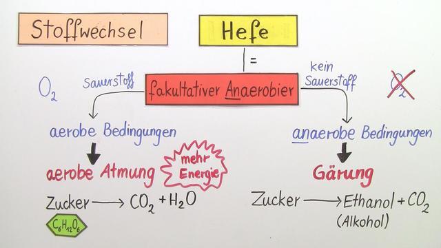 Hefe – Stoffwechsel und ökologische Bedeutung