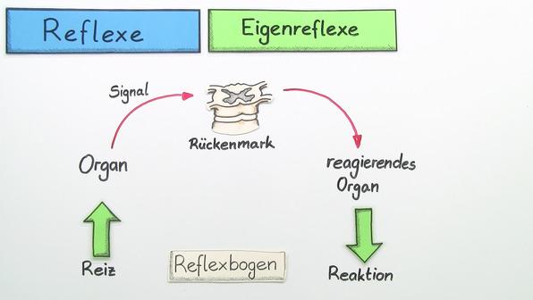 Reflexe – unwillkürliche Reaktion des Nervensystems auf einen Reiz