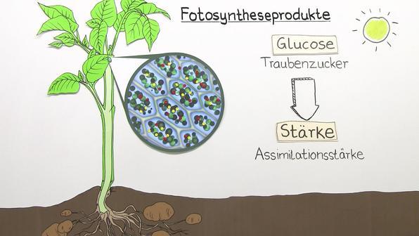 Fotosynthese – Verwertung der Fotosyntheseprodukte in der Pflanze