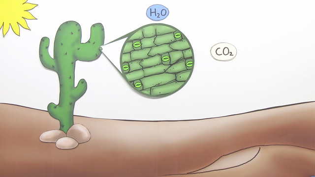 Fotosynthese – C4 und CAM-Pflanzen