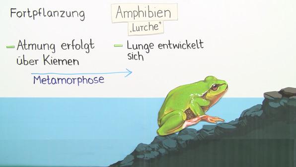 Amphibien – Frösche, Kröten, Unken, Salamander und Molche
