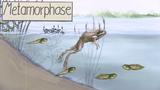 Metamorphose – Entwicklung von der Kaulquappe zum Frosch