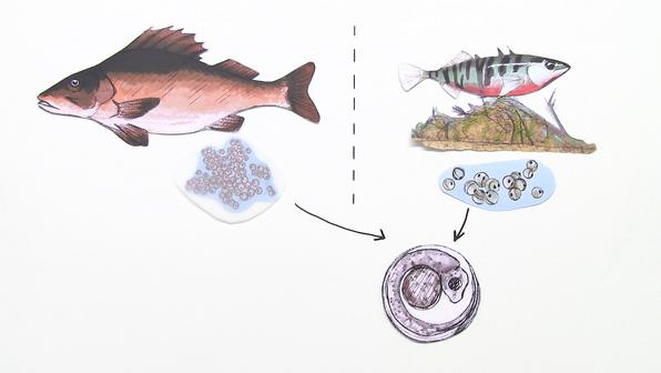 11573 fortpflanzung brutpflege und entwicklung bei fischen