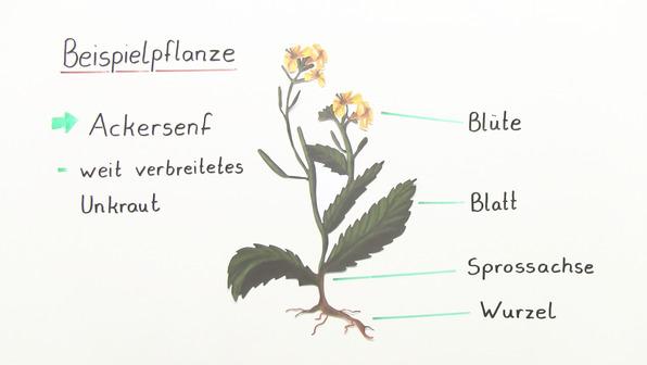 Die Pflanzenorgane