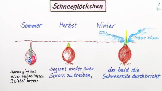 Lebensweise und Bedeutung von Samenpflanzen online lernen