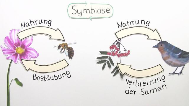 Symbiose - Formen und detailliertes Prinzip