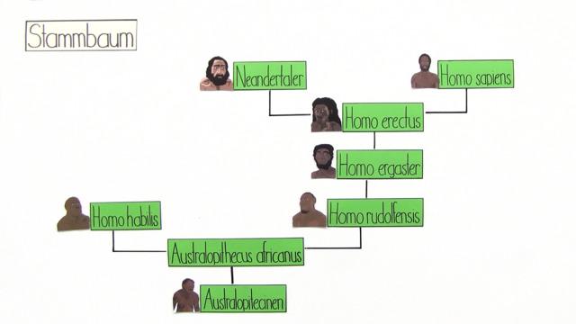 Stammbaum Menschen