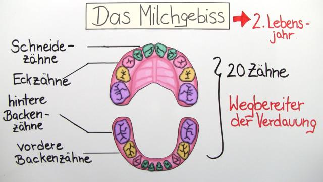 Zähne und Gebiss (Vertiefungswissen)