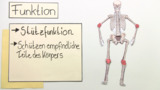 Knochen –  Bau und Funktion (Basiswissen)
