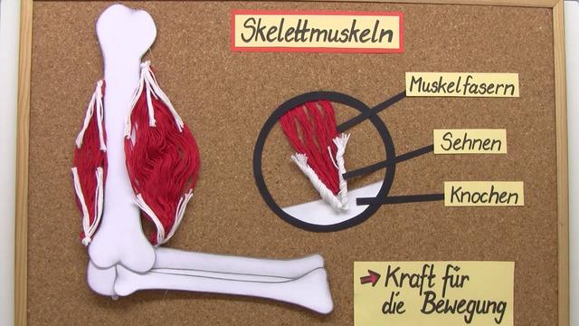 Muskulatur – Muskeln beim Menschen