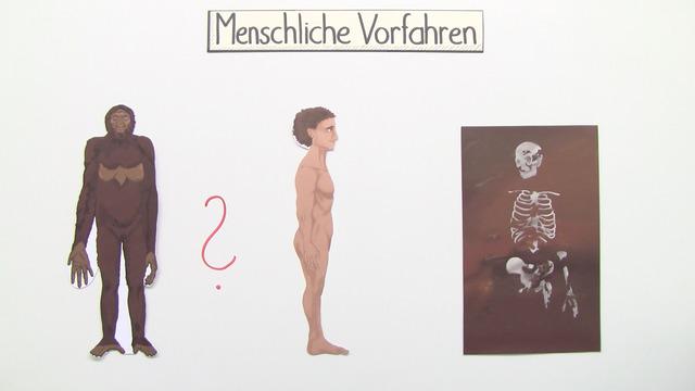 Evolution des Menschen (Vertiefungswissen)