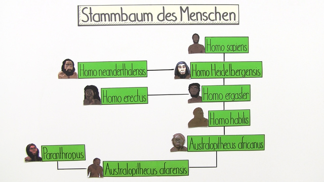 Stammbaum des Menschen