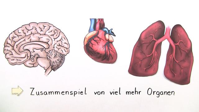 Leber und Niere (Basiswissen)