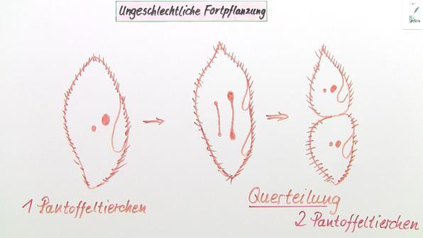 Vermehrung – Einzeller und Sporen