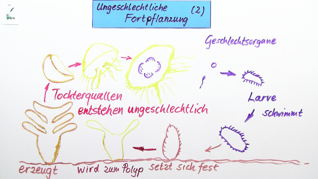 Beispiele für ungeschlechtliche Vermehrung bei Pflanzen und Tieren