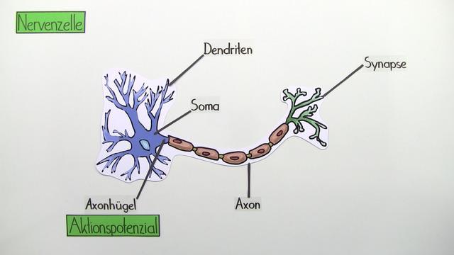 Nervenzelle – Bau und Funktion