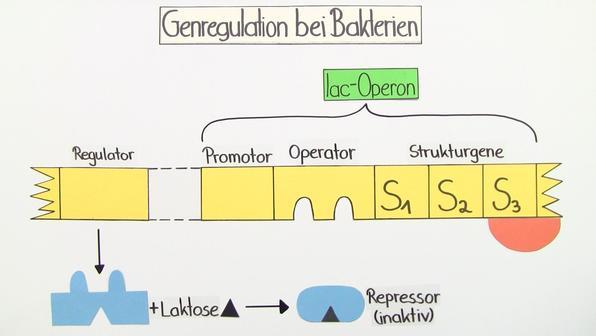Genregulation bei Prokaryoten – Steuerung der Genexpression (Basiswissen)