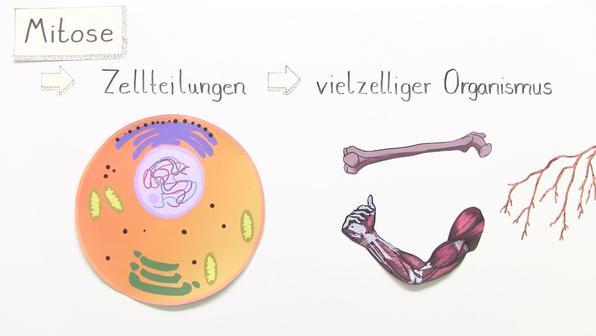 Mitose – Ablauf der Zellteilung