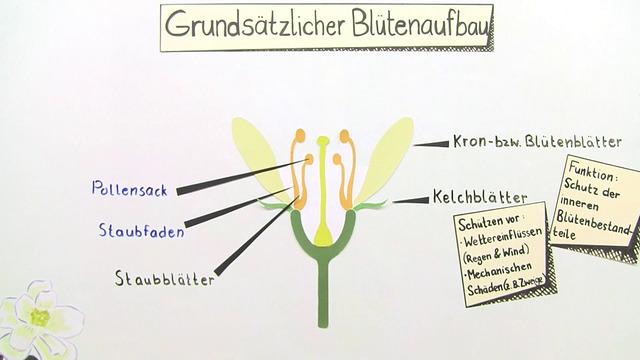 Die Blüte – Aufbau und Funktion (Basiswissen)