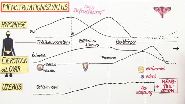 Menstruation – der weibliche Zyklus (Vertiefungswissen)