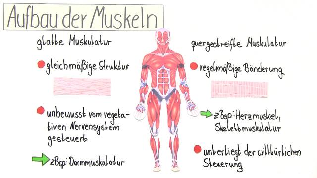 Bau der Muskeln, Muskeltypen