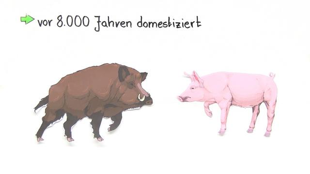 das wildschwein ist die stammform des hausschweins. Black Bedroom Furniture Sets. Home Design Ideas