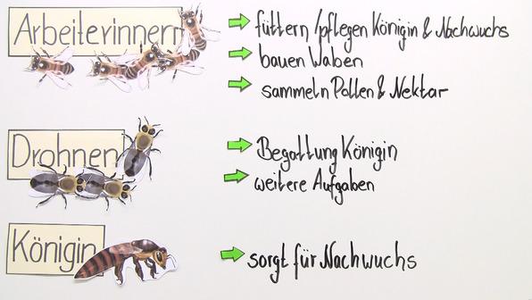 Honigbiene – Aufgaben im Bienenstaat