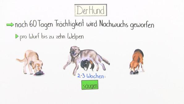 Der Hund - ein Säugetier