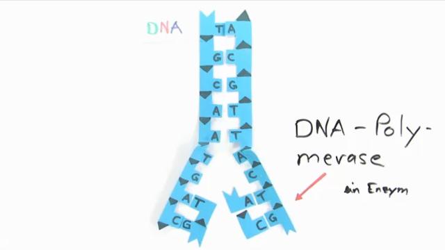 Vervielfältigung des Erbmaterials – Replikation der DNA