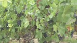 Champagner-Mythos – Gibt es einen neuen Jahrgang Dom Pérignon?