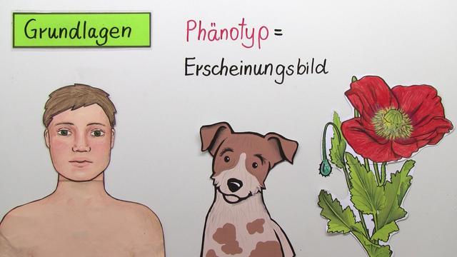 Modifikationen – die Umwelt beeinflusst den Phänotyp