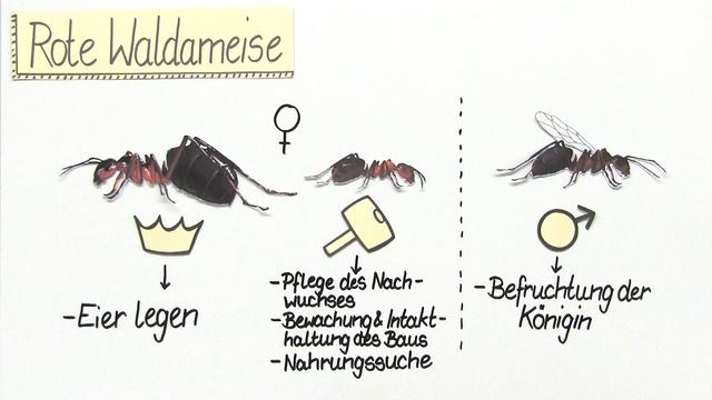 Ameise trennen