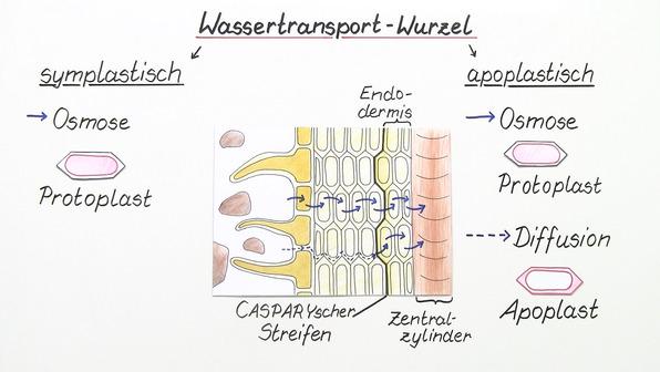 Wassertransport in Pflanzen