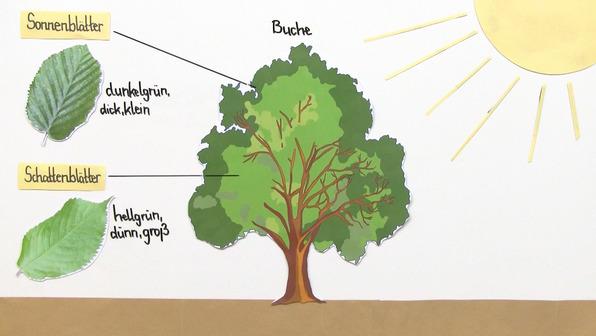 Licht als abiotischer Faktor – Anpassung der Pflanzen (Vertiefungswissen)
