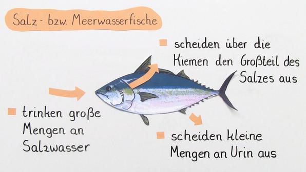 12905 osmoregulation bei fischen.vorschau