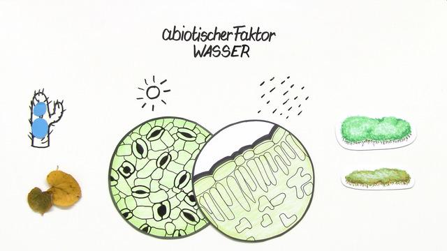 abiotischer Faktor Wasser – Einfluss auf Pflanzen (Basiswissen)