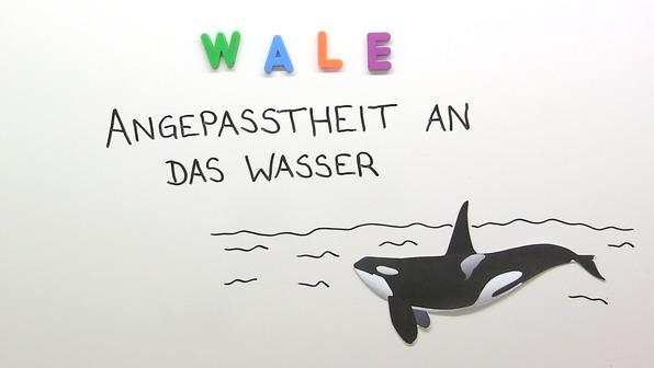 Wale – Angepasstheit an das Wasser