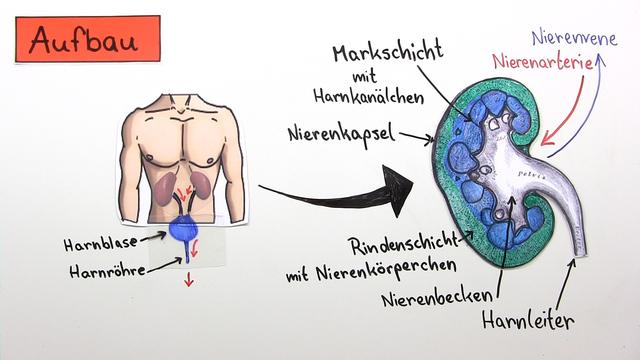 Niere – Bau und Funktion (Vertiefungswissen)
