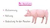 Das Hausschwein und seine Bedeutung für den Menschen
