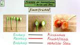 Früchte der Samenpflanzen - Arten und Bau