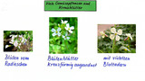 Viele Gemüsepflanzen sind Kreuzblütler