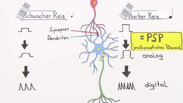 Nervensystem – Codierung von Informationen – Biologie online lernen