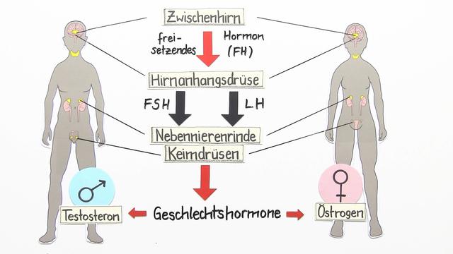 Hormone – Einfluss in der Pubertät und auf die Sexualität