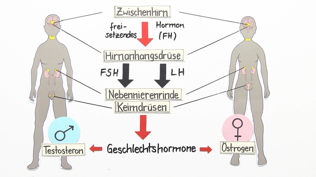 Hormoneller regelkreis sexualhormone