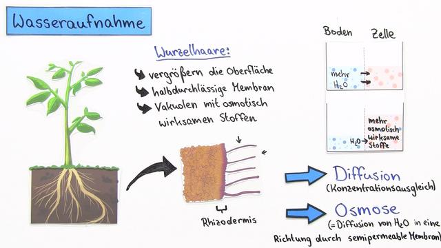 Wasseraufnahme und Wassertransport bei Pflanzen – Kohäsion und Adhäsion