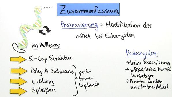 Prozessierung – RNA-Modifikation bei Eukaryoten